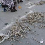 Отрезаны от берега.  300 рыбаков уносит в море на оторванной льдине