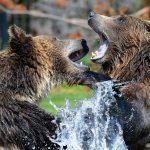 Медведи-каннибалы угрожают туристам