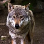 Волк напал на спящих туристов