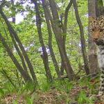 Приморская леопардесса Катюша родила