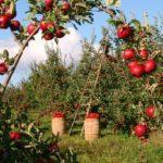 В детском яблочном пюре нашли пестициды