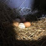 Петух убил  свою хозяйку во время сбора яиц