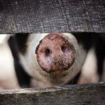 Свиньи будут служить в МВД и ФСИН?