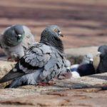 Следователи раскрыли жестокое убийство на голубятне