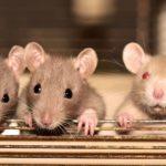 Странно все это: крысы атаковали школьников во время урока?