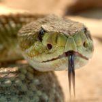 Ожесточенный бой ядовитых змей попал на видео