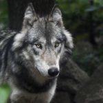 Три человека пострадали из-за нападения волков