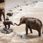Пять взрослых слонов погибли из-за слоненка