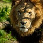 Он их спас, они его убили: львицы растерзали хозяина