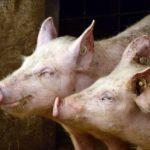 Смертность 80-100%. Вирус свиной чумы обнаружен в Приморье