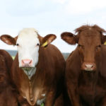 Не просто так: зачем люди решили обнимать коров