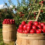 Обнаружена неожиданная опасность употребления яблок