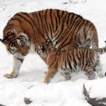 Судьба маленьких тигрят оказалась под угрозой