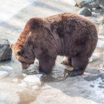 Страшная трагедия: медведь съел человека