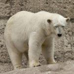 Житель в Якутии вступил в схватку с белым медведем: кто победил?