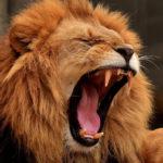 Занятия в нескольких школах отменили из-за льва