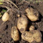Почему приморская картошка стала так много стоить