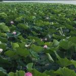 «Неужели это правда? Все было  иначе»: что  стало  с озером лотосов в Приморье