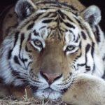 Можно не волноваться: торговая сеть «Реми» стала опекуном знаменитого тигра