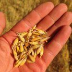 «Подошел, как надо»: высокий урожай овса собрал АПК «Альянс»