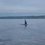 Уже не первый случай: настоящих хищников сняли на видео близ Русского острова