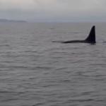 «У нас на пути - акула»: в курортном районе Приморья купаться небезопасно