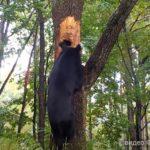 Медведь-дебошир замечен в Хасанском районе
