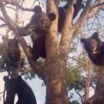 Шорох в тайге: отряд гималайских мишек залез на дерево в поисках лакомств