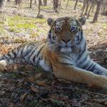 Подозреваемых в резонансном убийстве тигра задержали