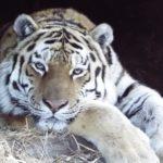 Торговая сеть «Реми» поддерживает защиту редких тигров