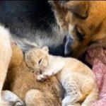 Видео: необычная мама появилась у маленьких львят