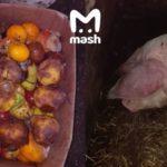 Лучше не покупайте: мясо откормленных ковид-отходами свиней уже в продаже