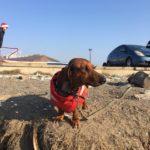 Популярная такса: собака ходит в море на сапе зимой