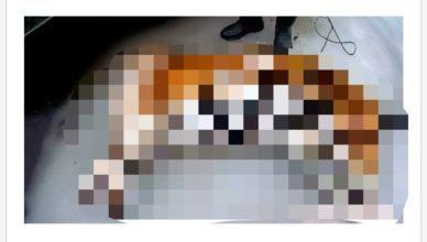 В Приморье доставили обезглавленный труп тигра