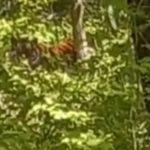 «Это круто и страшно»: в популярном месте отдыха свободно гуляет тигр