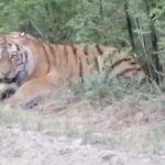 «Тупость просто зашкаливает»: люди, встретив тигра, совершили возмутительный поступок
