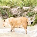 «Это очень редко бывает»: уникальные кадры со львами запечатлели в популярном парке