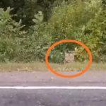 «В кустики там точно нельзя»: тигр замечен в одном из районов Приморья